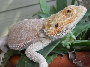 Back To The Basics With Bearded Dragons | Crazy Plants Crazy