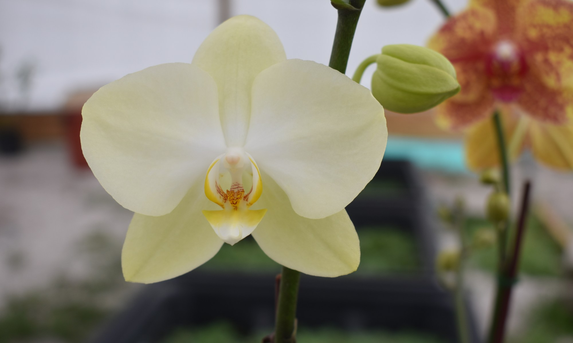 Moth Orchid at Crazy Critters Inc.