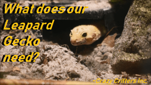 What Do Leopard Geckos Need? ~Crazy Critters Inc.