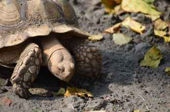 large sulcata tortoise crawling on ground in park