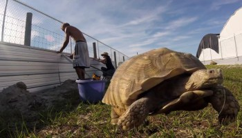 Fencing For A Large Tortoise | Crazy Plants Crazy Critters
