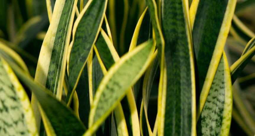 lush sansevieria plant leaves in light room