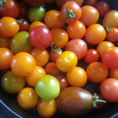 Harvested Cherry Tomatoes