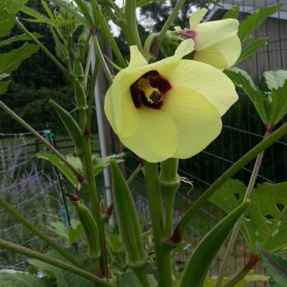 Clemson Okra Flower