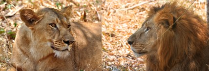 Mr. & Mrs. Panthera Leo - A Handsome Couple...