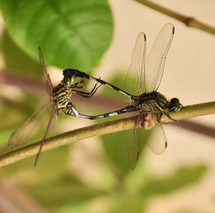 In Flagrante Delicto...Dragonflies enjoying themselves in the classic way ;)