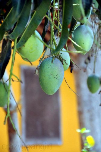 Raw mangoes...accidentally framed in Nat Geo fashion :P