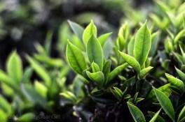 Tea leaves!