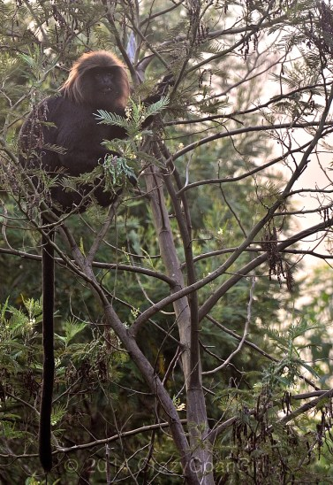 Daily visitor to the Resort at sunrise...The Nilgiri Langur.
