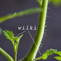 Uprawa pomidorów - obrywanie liści i wilków - podstawowe zabiegi pielęgnacyjne