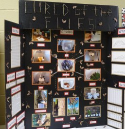 Science Fair board: Lured of the Flies
