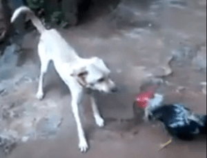 rooster_chasing_dog