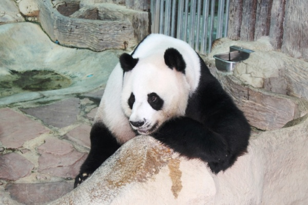 """""""Yes, I'm a panda and I'm not moving anywhere!"""""""