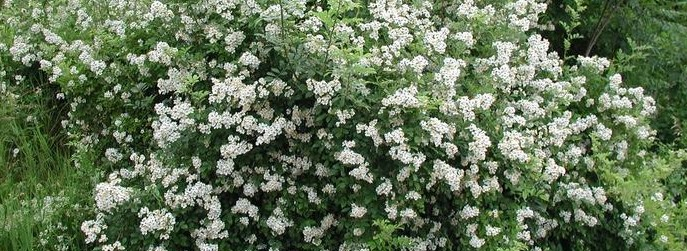Picture of multiflora rosebush