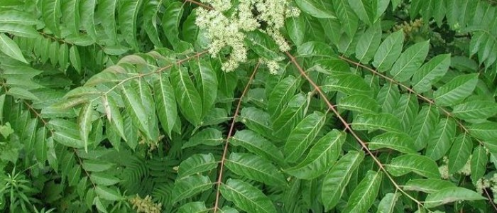 Picture of tree of heaven's long leaves and flower clusters.