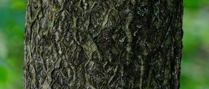 Picture of smooth bark of tree of heaven.