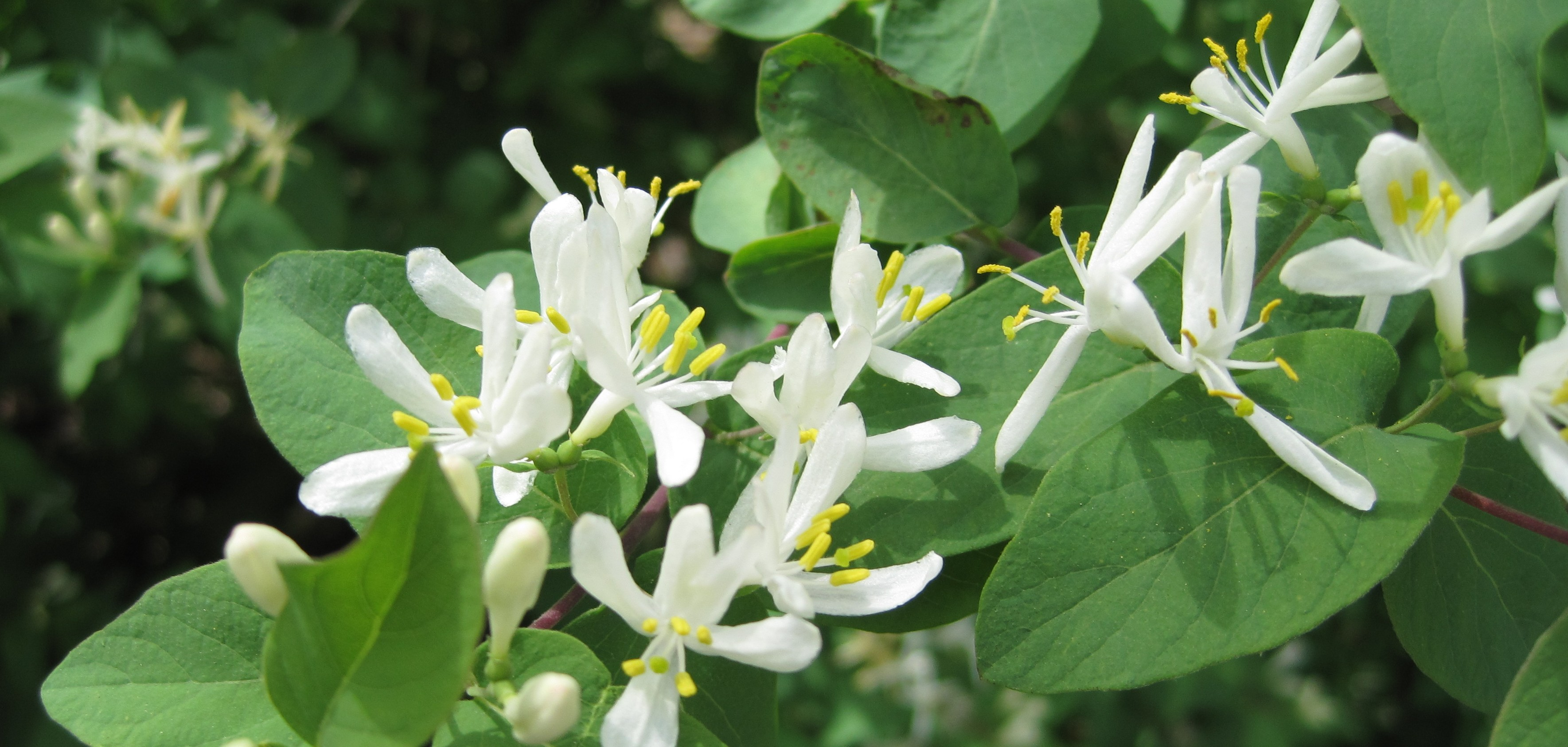 Picture of Morrow's honeysuckle flowers