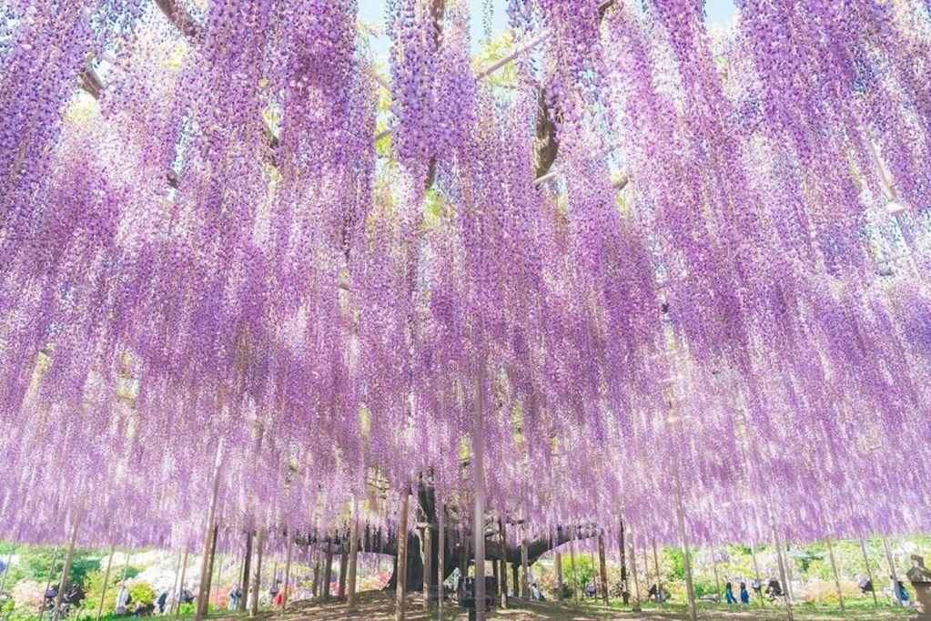 Japon : cet arbre à glycine centenaire classé parmi les plus beau du monde