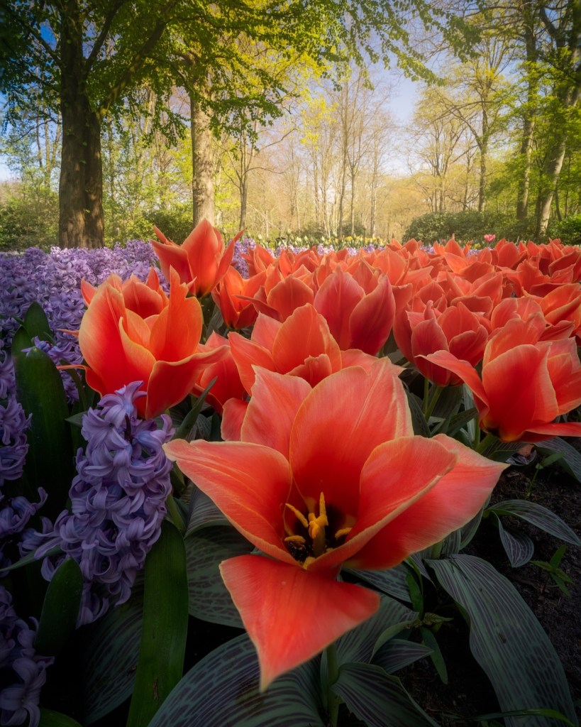 Keukenhof : le plus grand jardin de tulipes au monde