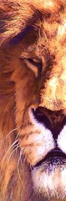 Mitch Ridder Lion Watercolor
