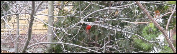 Cardinal Amidst Winter