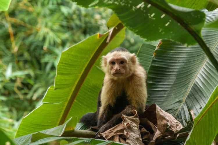 Capuchin Monkeys at Curu Wildlife Refuge