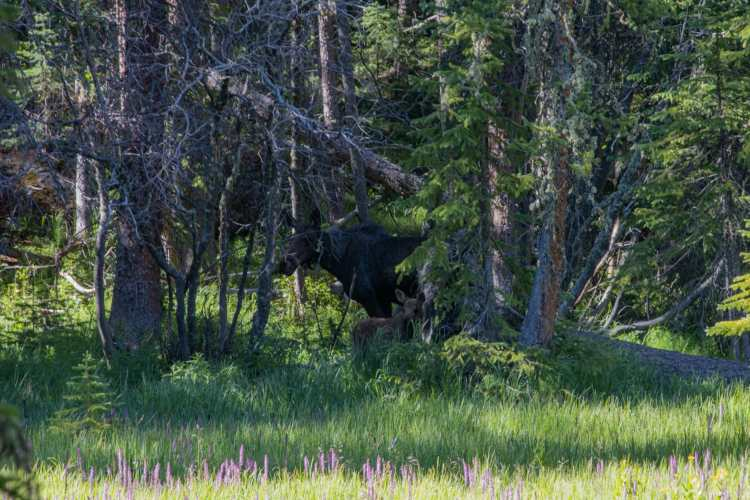 Moose on Green Mountain Trail in Rocky Mountain National Park