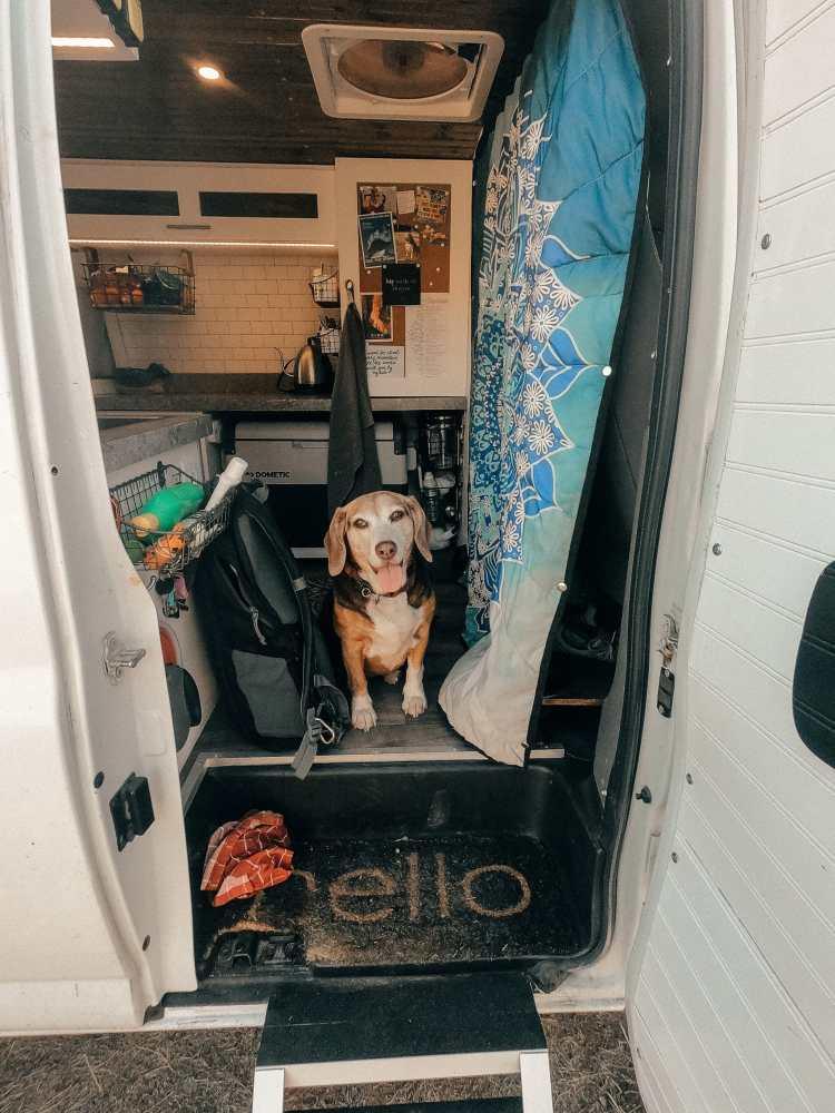 Beagle living in a van