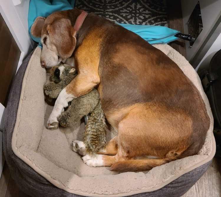 Beagle sleeping in dog bed