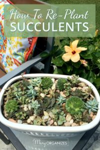 How To Re-Plant Succulents -v