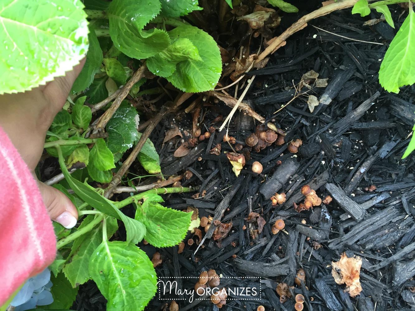 Planter Refresh and Hydrangea Propagation 12