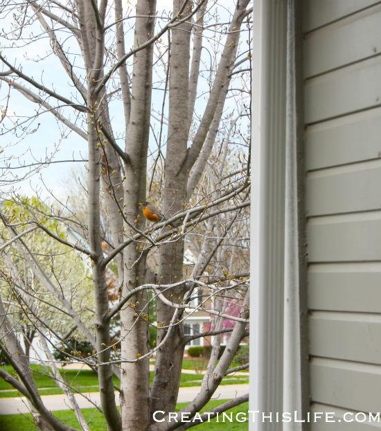 mother-robin-near-nest
