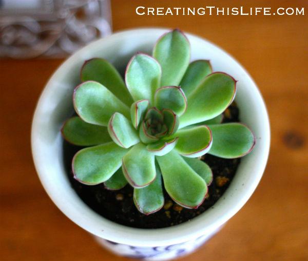 succulent in small planter