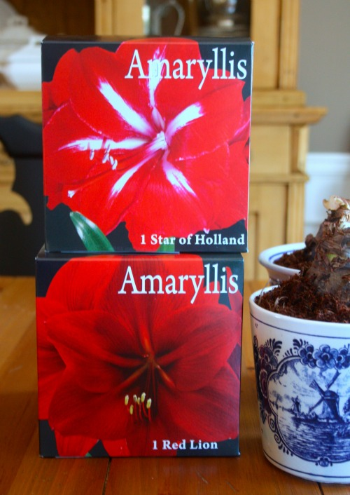 Star of Holland and Red Lion Amaryllis bulb kits
