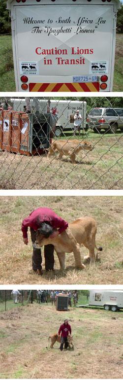 Antonio apresenta sua amada Lea ao novo lar - seu sonho de encontrar uma nova moradia para ela finalmente tornou-se realidade. Mas a leoa de sete anos de idade agora deve enfrentar o desafio de aprender a comer carne - pela primeira vez em sua vida. Fotos Rhino & Lion Nature Reserve.