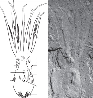 Fossil octopus remarkably preserved in Lebanon reveals details of the eight arms, suckers, ink, gills, mouth, eye capsule and more.
