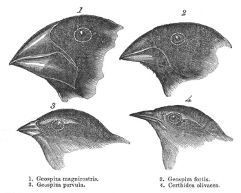 Darwin's drawings of four finch beaks from his Journal of Researches 2nd ed., 1845, p. 379. Modern long-term research has established thatthe beak size within the species changes as the food supply changes.
