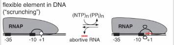 The 'scrunching' model for RNAP
