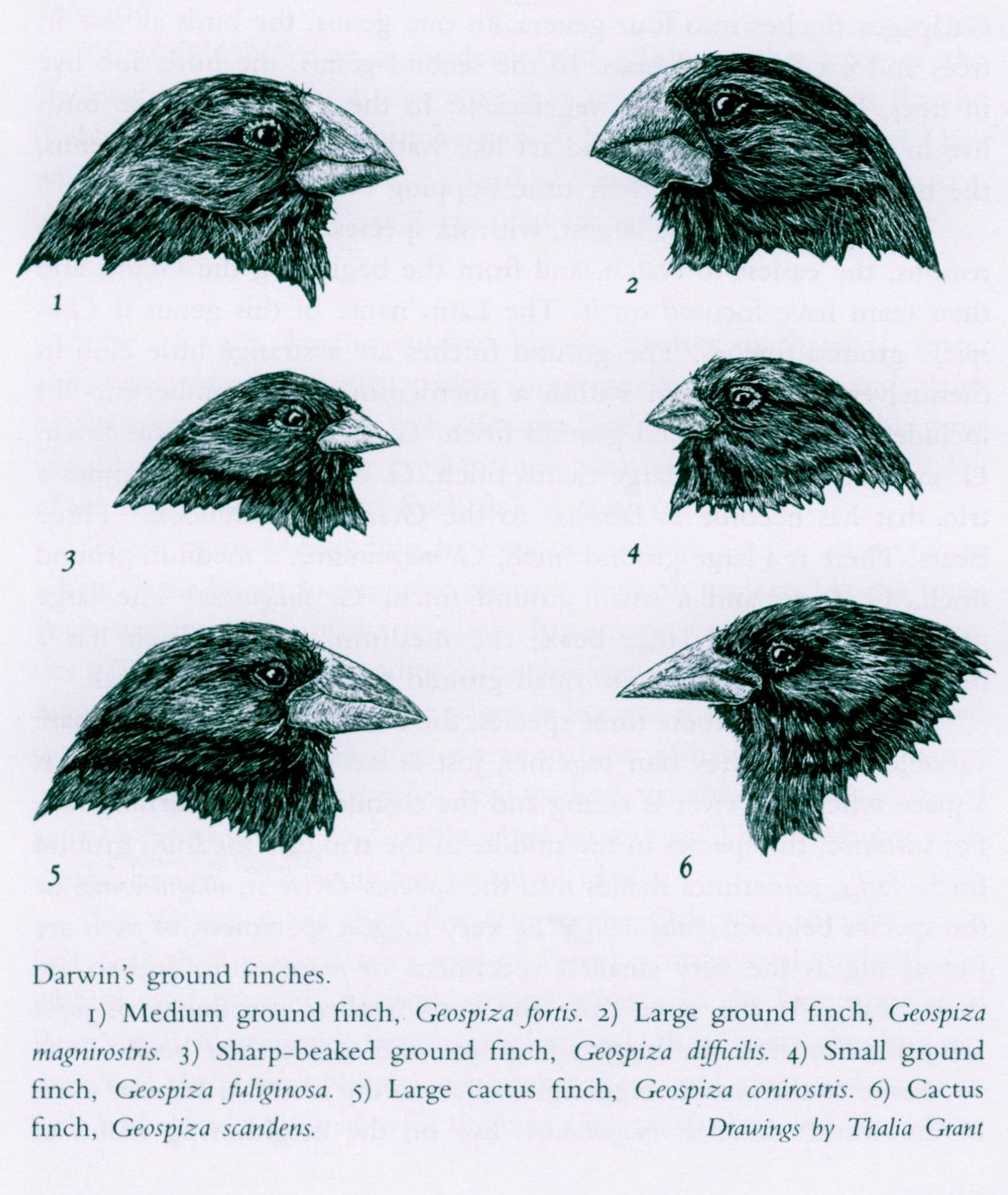 The Galapagos Finches Prime Example Of Evolution