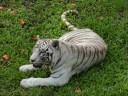 White Tiger in Hilo, HI