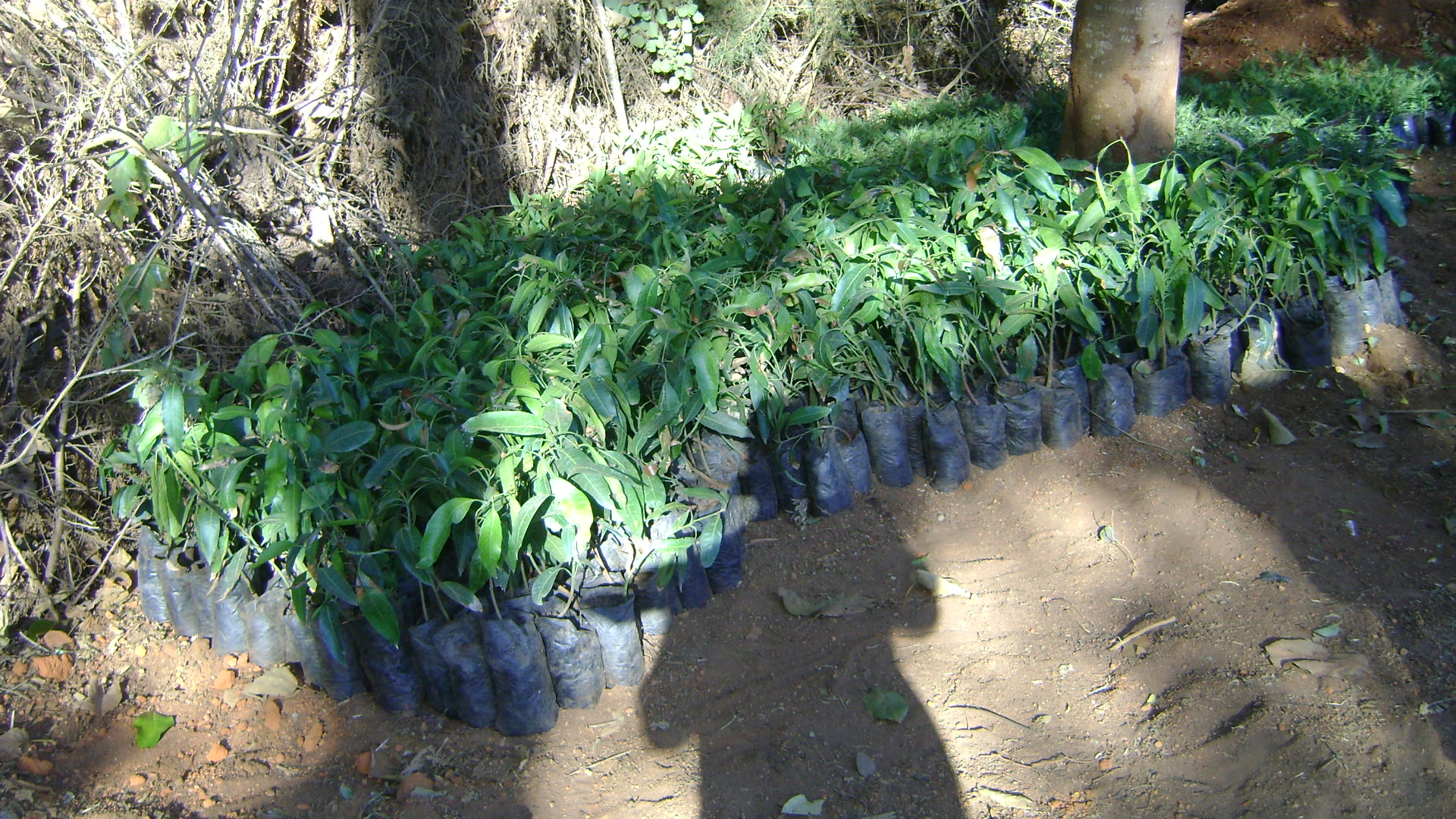 Hope has purchased seedlings to be planted this El Nino rains