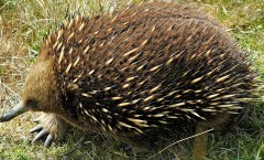 Tasmanian Shortbeaked Echidna- WikiCommons