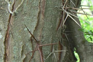 Honey Locust Thorns, photo credit: MONGO