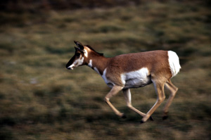 Pronghorn running