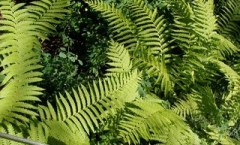 Lacy Ferns