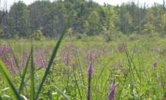 Marsh Blooms