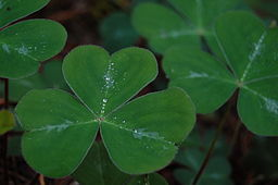 Shamrock Leaves