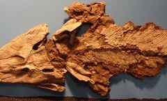 Tiktaalik-Fossil-Chicago-Wikimedia