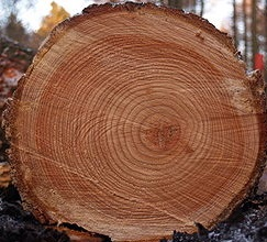 Log showing growth rings, Wikicommons
