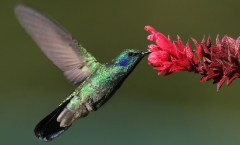 Hummingbird dricking from red flower: WikiMedia